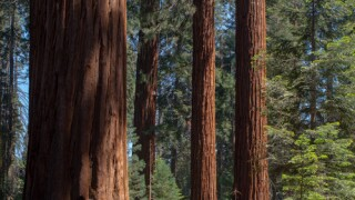 Sequoias, Redwood Canyon