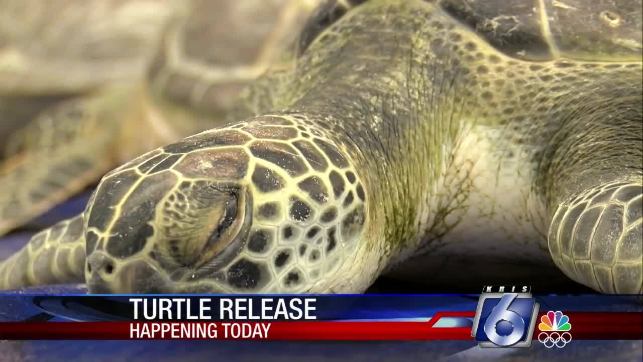 At least 300 dry-docked turtles expected to be released today
