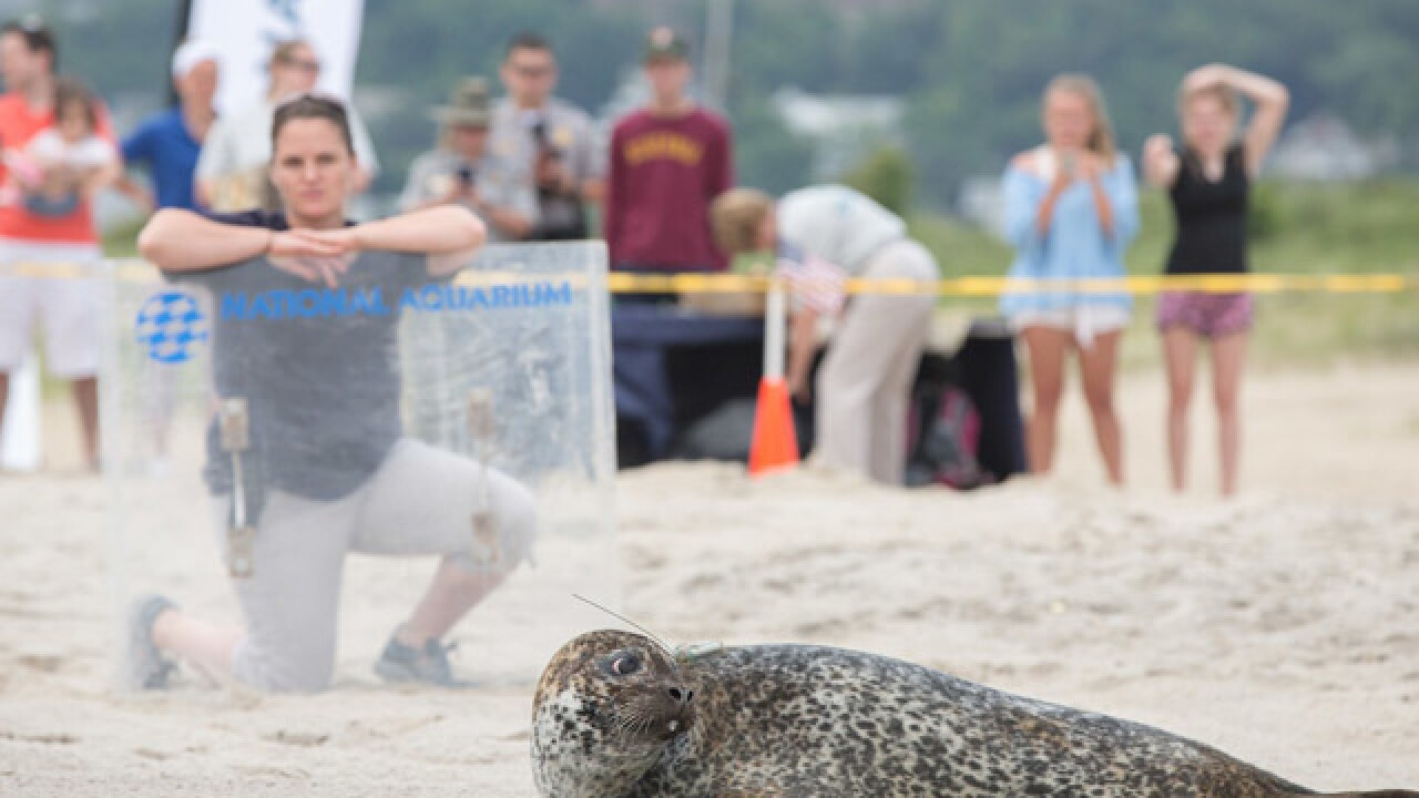 Phil the seal released back into the ocean