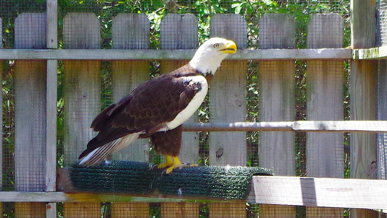 Ozzie the Eagle