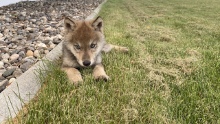 ZooMontana welcomes orphaned wolf pup