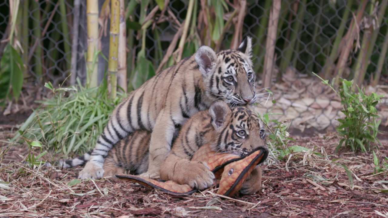 San Diego Zoo reveals new names of rescued tiger cubs