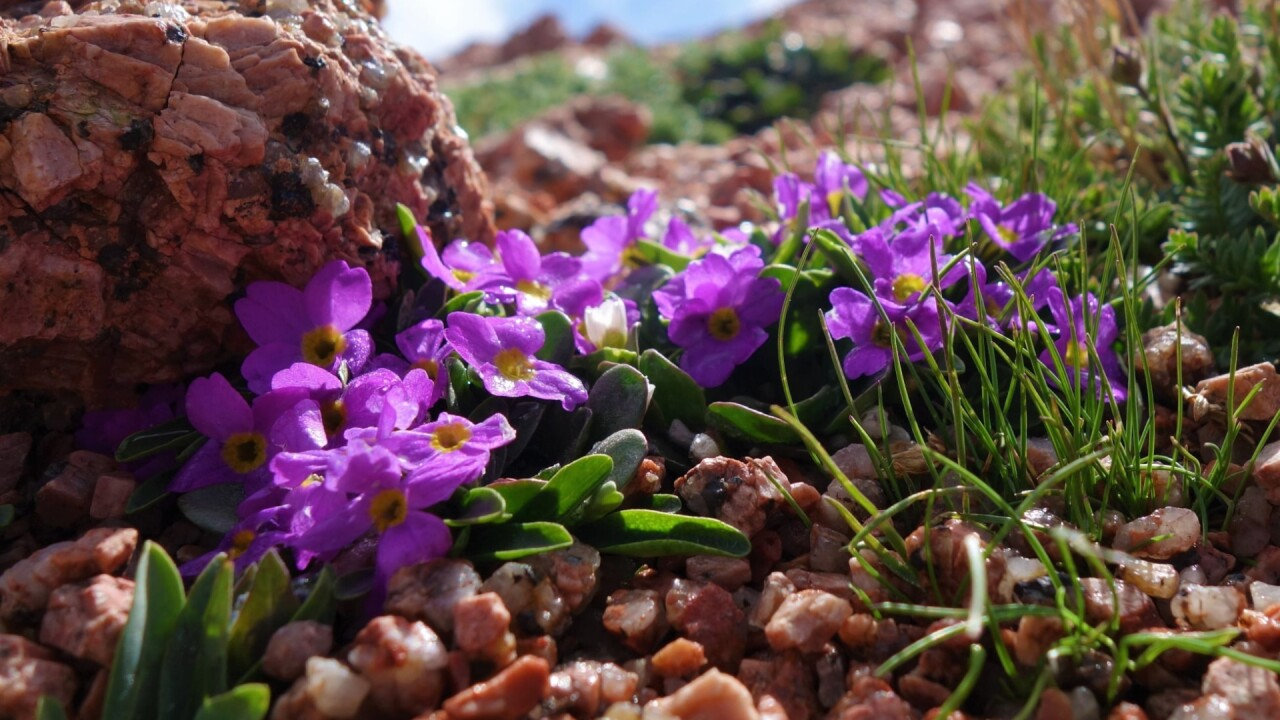 Jeff Castillo Pikes Peak Wildflowers 4.jpg