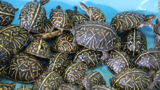 191019141016-02-suspects-charged-smuggling-turtles-trnd-exlarge-169.jpg