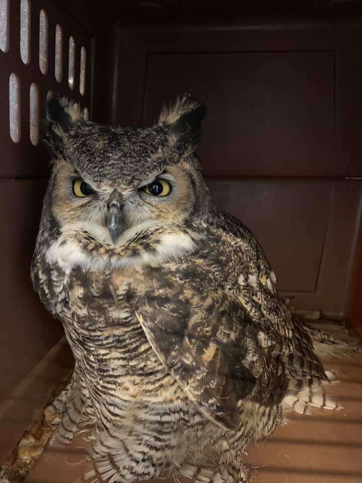 Photos: Great Horned 'Owl Pacino' taken to rehab in Ogden