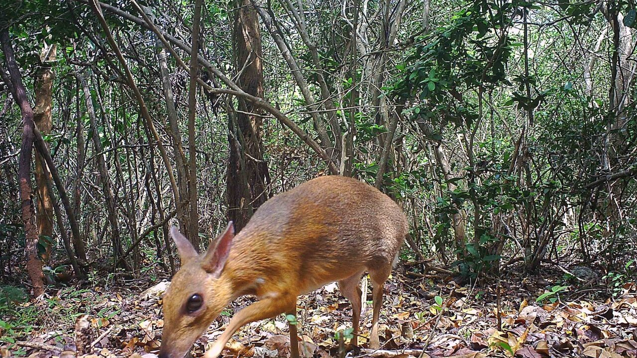 Tiny deer-like animal thought lost to science photographed for first time in 30 years