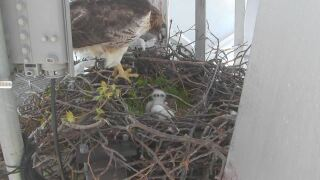 Help name Ruby the red-hawk's three baby hawks