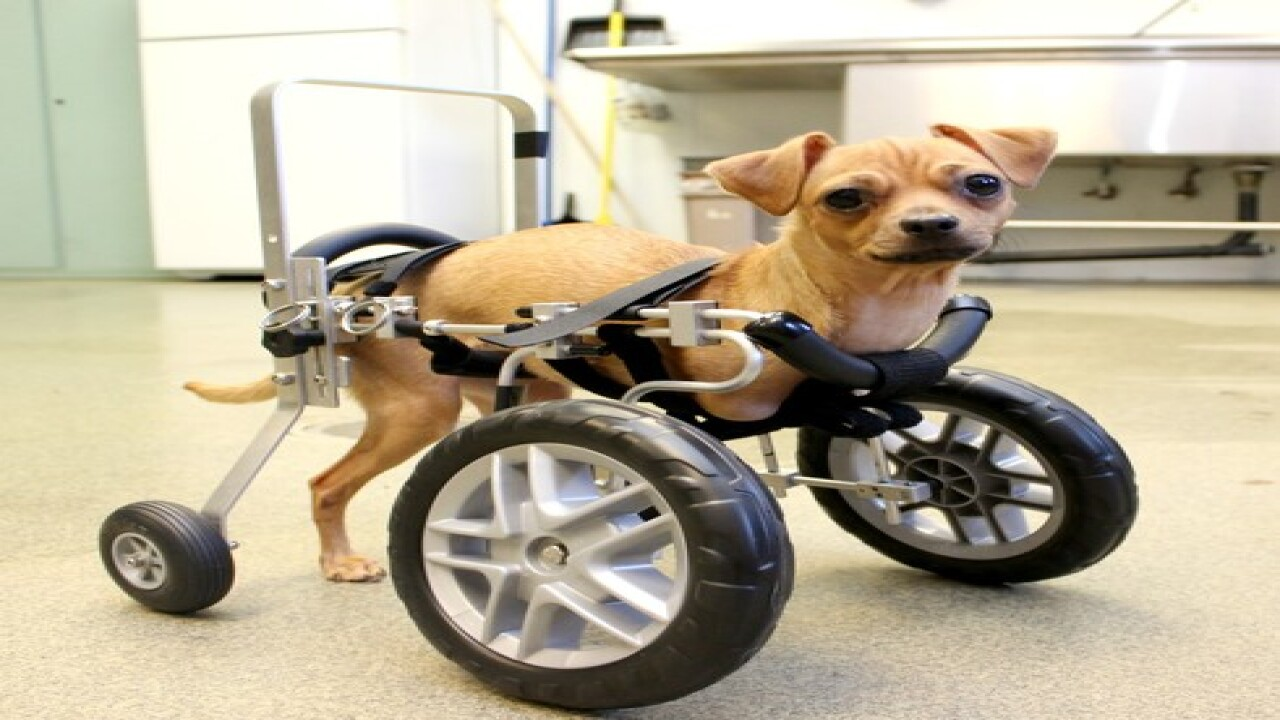 AZ dog born with no front legs gets wheelchair