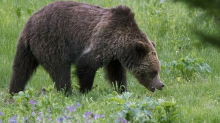 US officials to lift Yellowstone grizzly bear protections