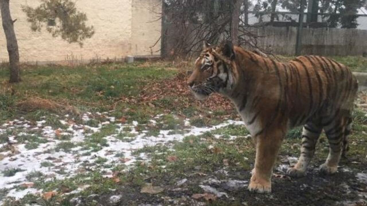 Tiger euthanized at Zoo Boise following surgery complications