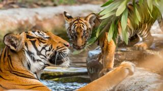Ten-year-old mom, Api enjoys the river water while female cub (with flower marking) looks on in the Tiger River habitat at Palm Beach Zoo.