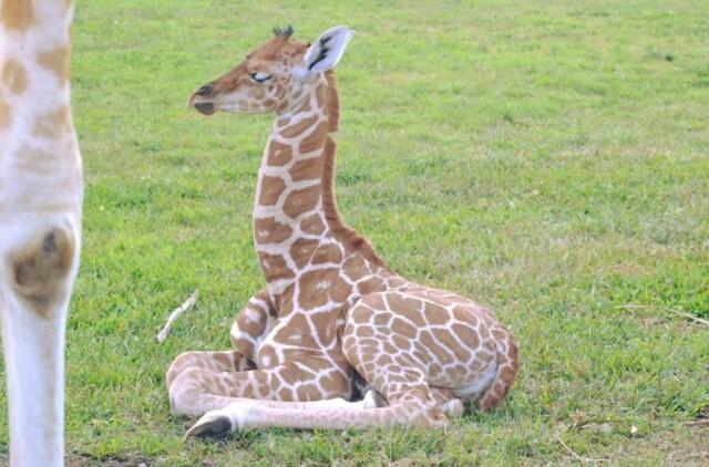 PHOTOS: Baby giraffe named Kimberlina born at Lion Country Safari