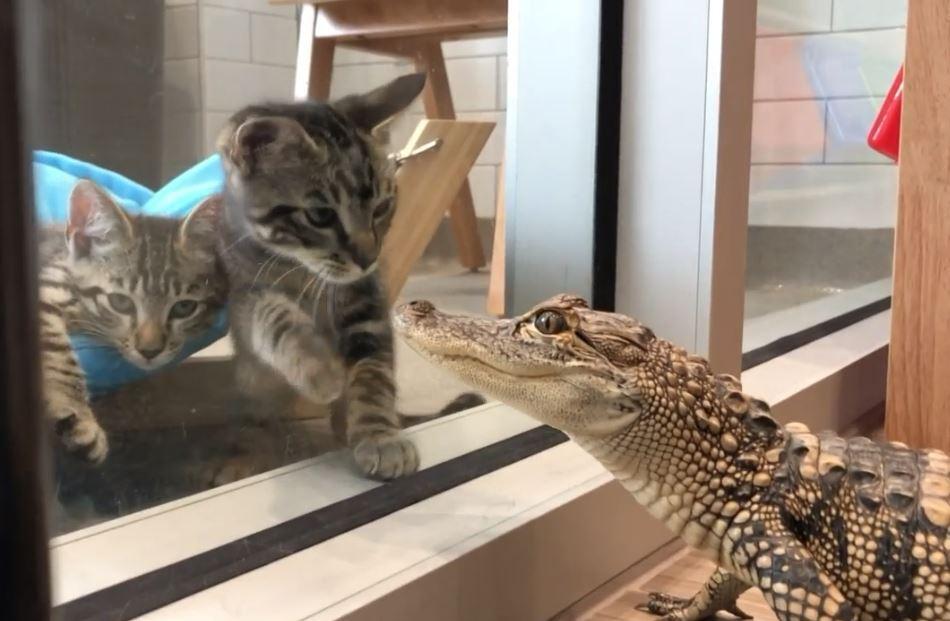 cats and gator.JPG