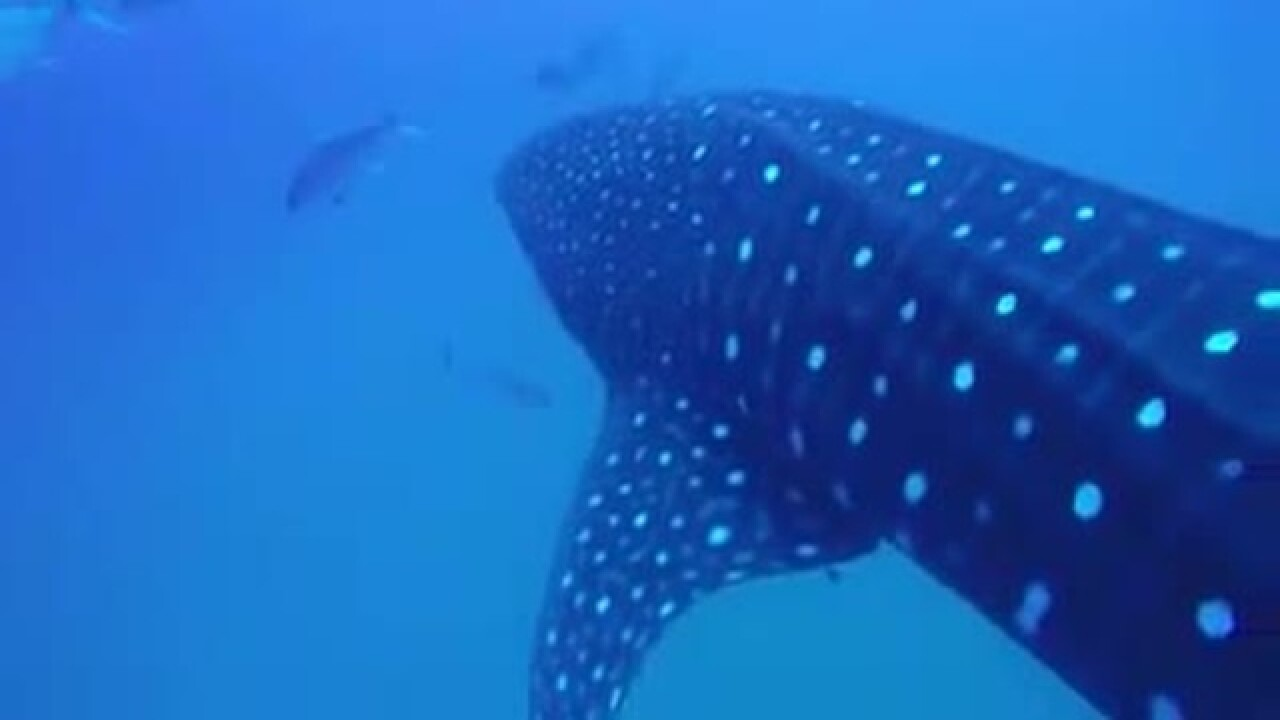Diver gets up close with whale shark off Naples