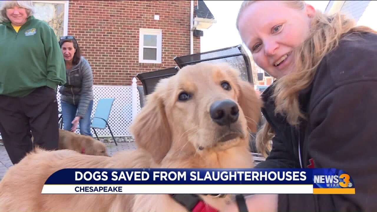 Golden retrievers rescued from slaughterhouses start off 2020 with their lives
