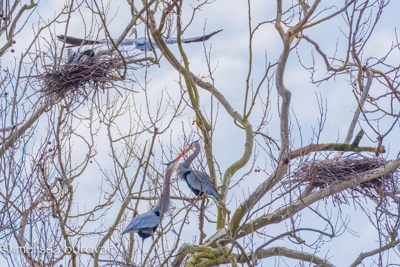 Great Blue Herons at the Bath Road Heronry at the Cuyahoga Valley National Park.