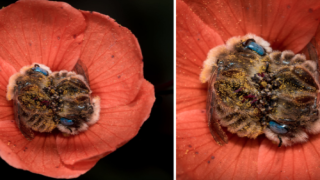 These Bees Sleep In Flowers And This Photographer Got Some Great Shots Showing Just How Adorable It Is