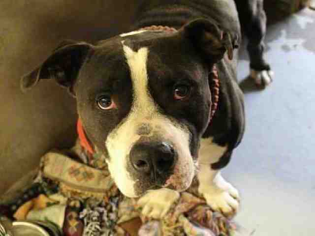 30 pets available for adoption from Maricopa County Animal Care and Arizona Humane Society
