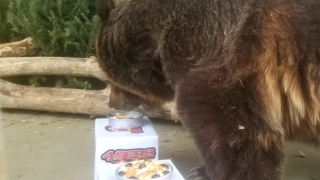 ZooMontana's grizzly makes Super Bowl prediction