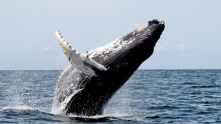 humpback whale.PNG