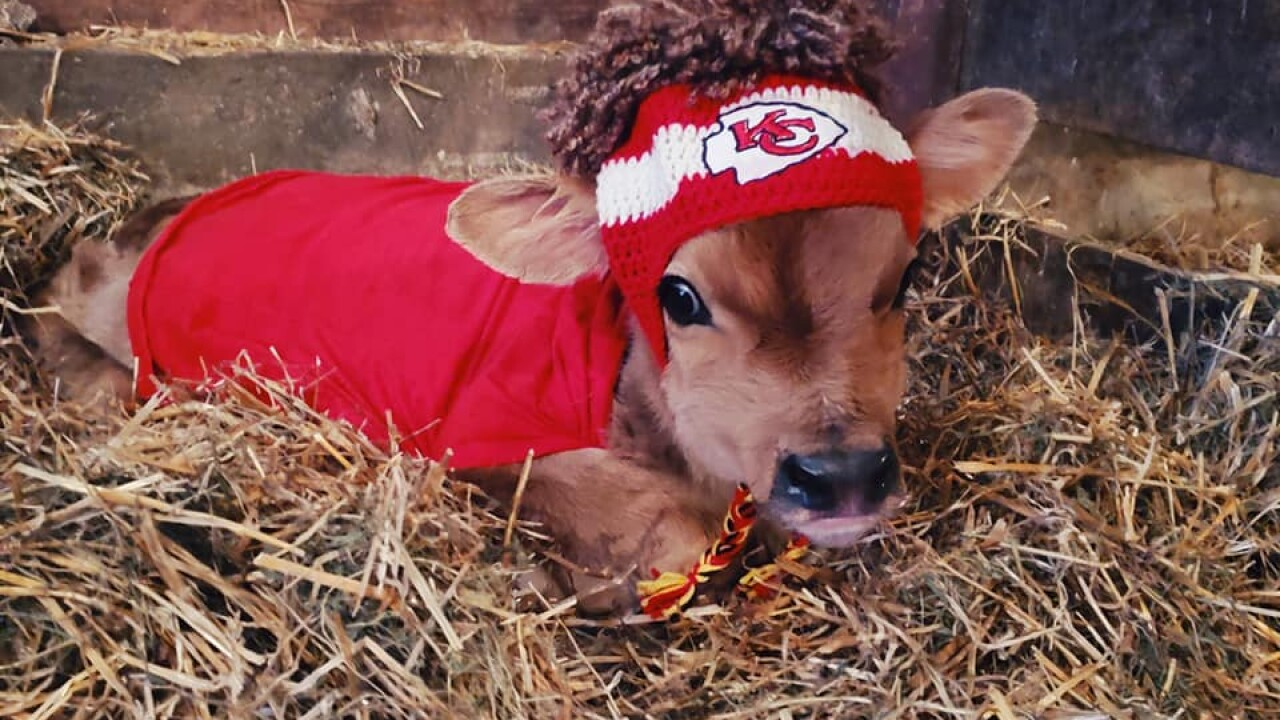 Newborn calf born in Missouri pledges allegiance to Kansas City Chiefs ahead of Super Bowl