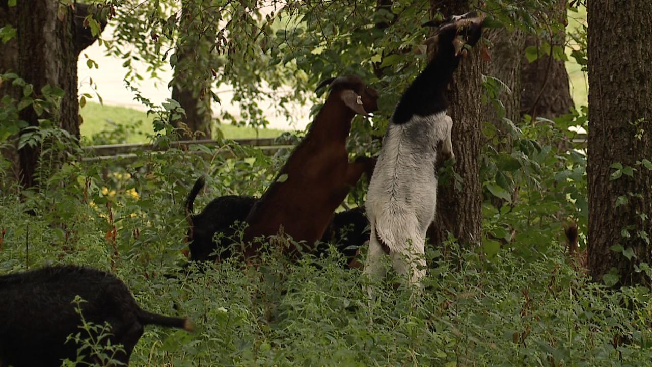 lenexa goat grazing 3