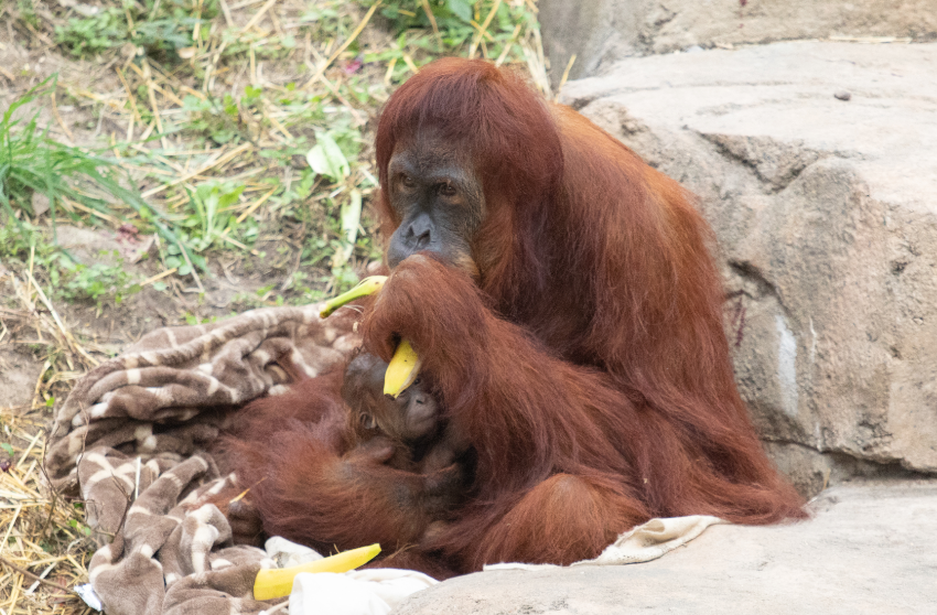 Reese the orangutan with her new baby