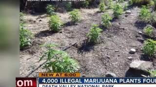 4,000 illegal marijuana plants found in Death Valley raid