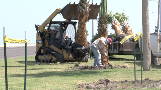 Corpus Christi palm planting replaces trees that died in February deep freeze