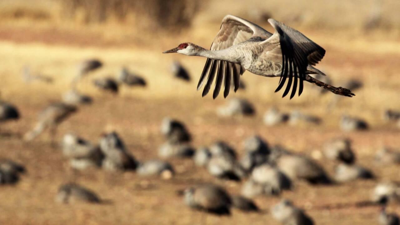 More Than 27 000 Sandhill Cranes Flock In Southern Arizona