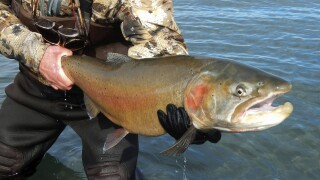 NV Thriving Trout