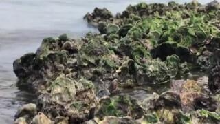 wptv-oyster-bed.jpg