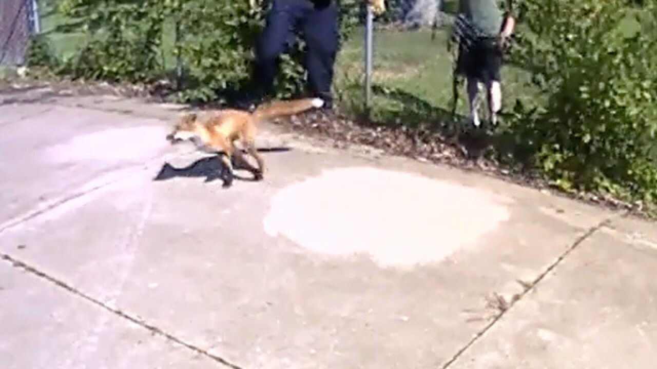 Springfield Township police officers free fox trapped in fence
