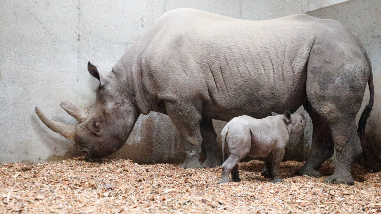 potter park zoo black rhino calf 13.JPG