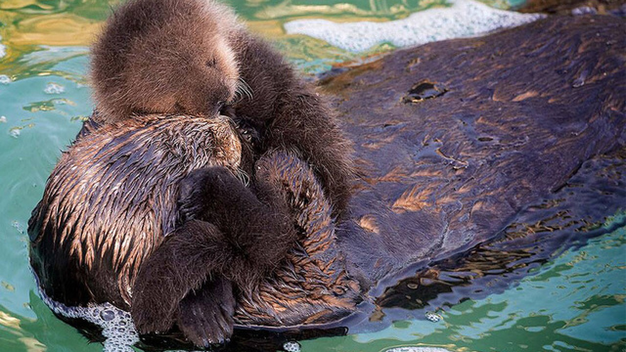 Newborn sea otter bonds with mom after birth