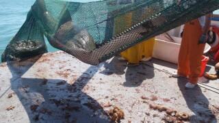 sawfish in net.jpg