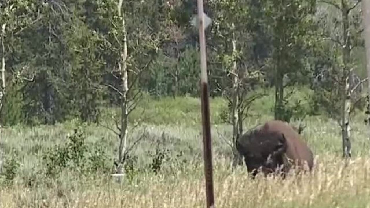 Man in Yellowstone bison harassment video arrested at Glacier National Park