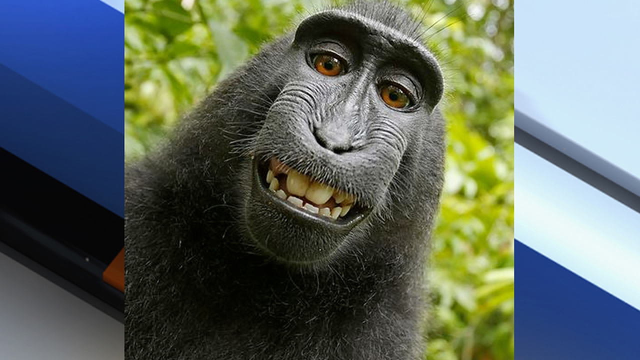 Court sides with human in copyright fight over monkey selfie