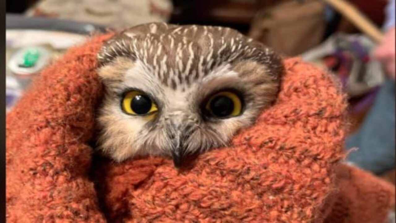 Worker Transporting The Rockefeller Center Christmas Tree Found A Tiny Owl Inside