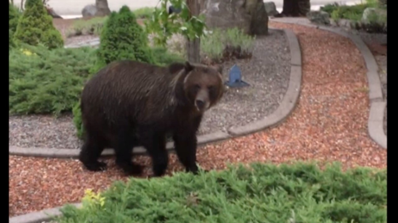Grizzly bears spotted in Bigfork, Whitefish neighborhoods