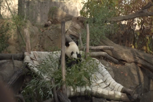 Bei Bei the panda returns to China
