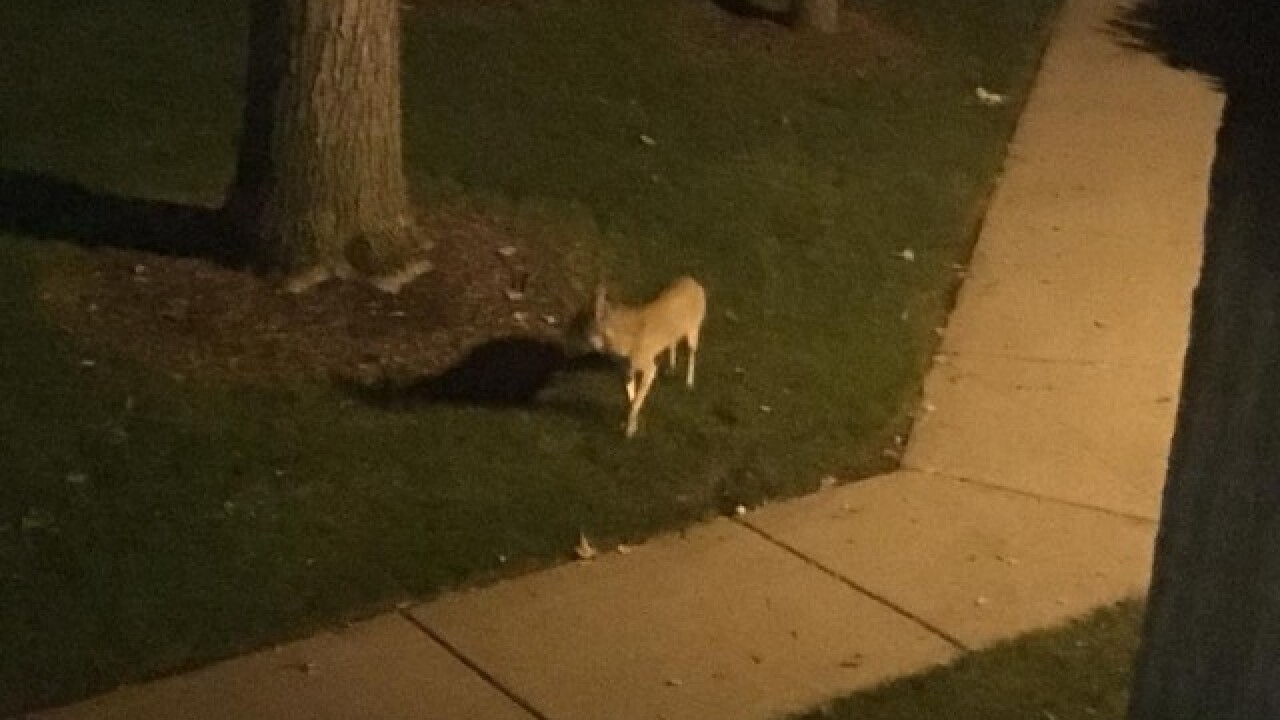Rochester Hills residents wake up to find violent coyote attack