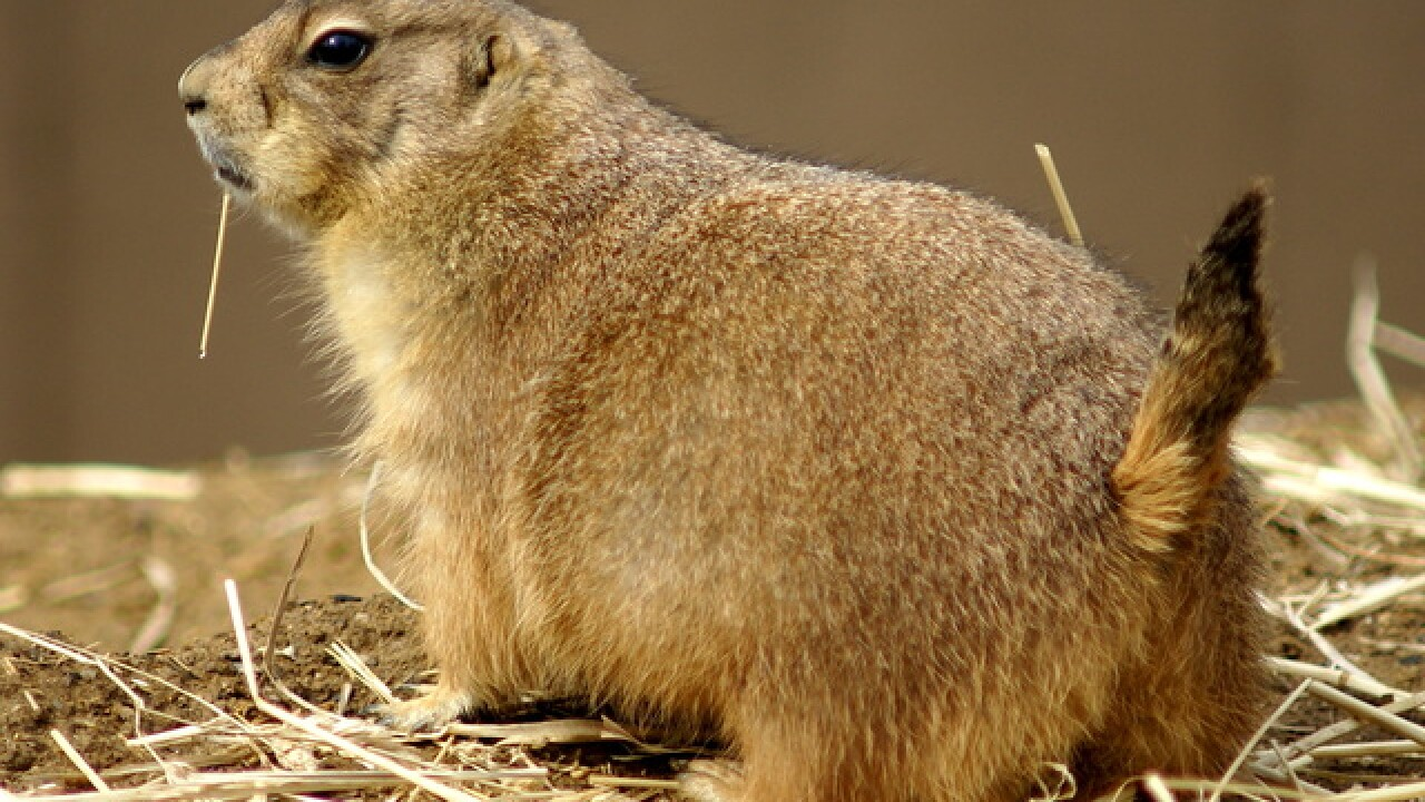 Longmont pushing tougher prairie dog exterminations rules