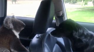 Video extra: Koala climbs into car, won't leave