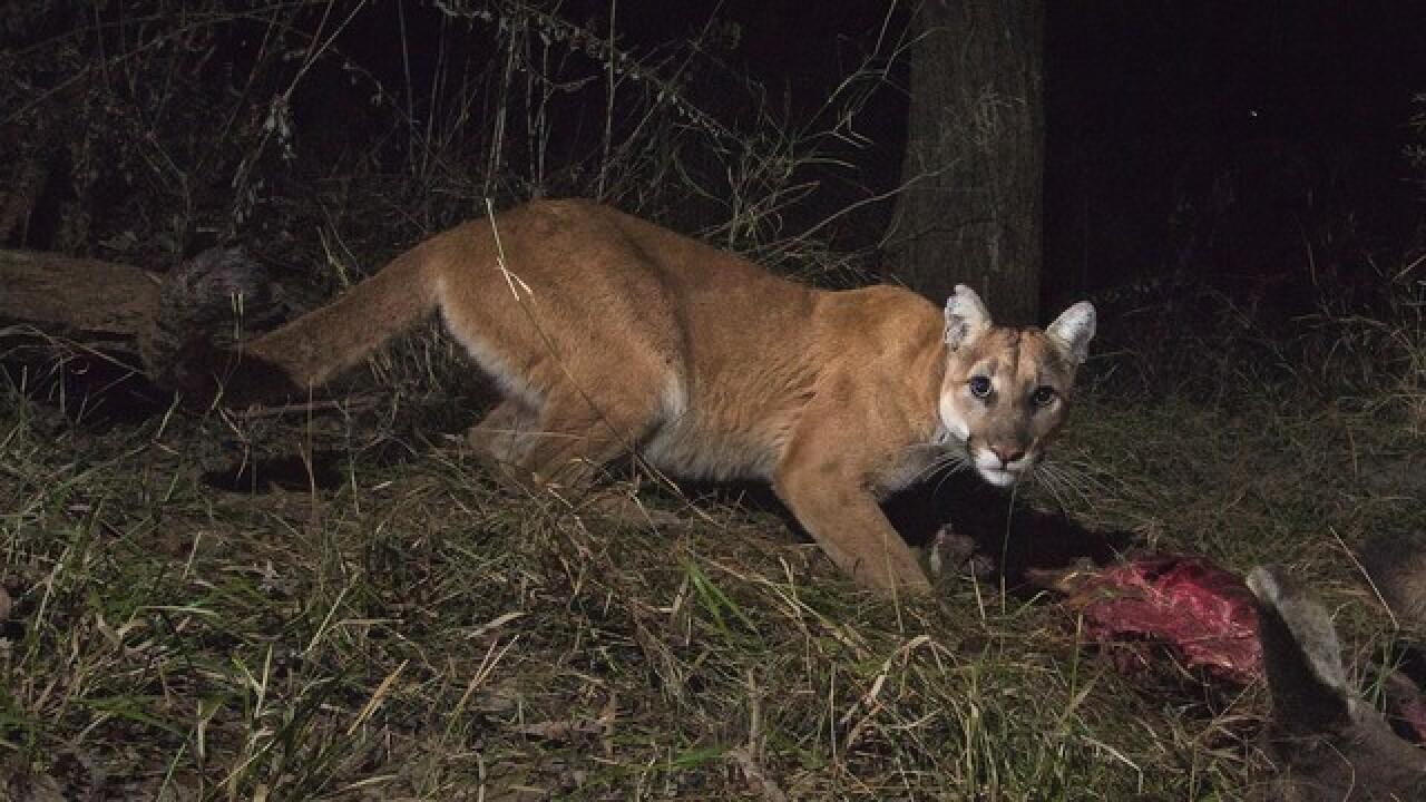 Video Hungry Idaho Mountain Lion Stalks Deer Decoy