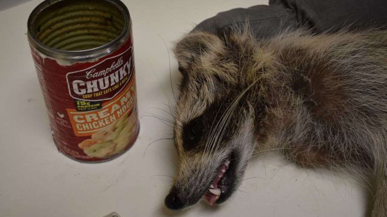 Raccoon with can stuck on head