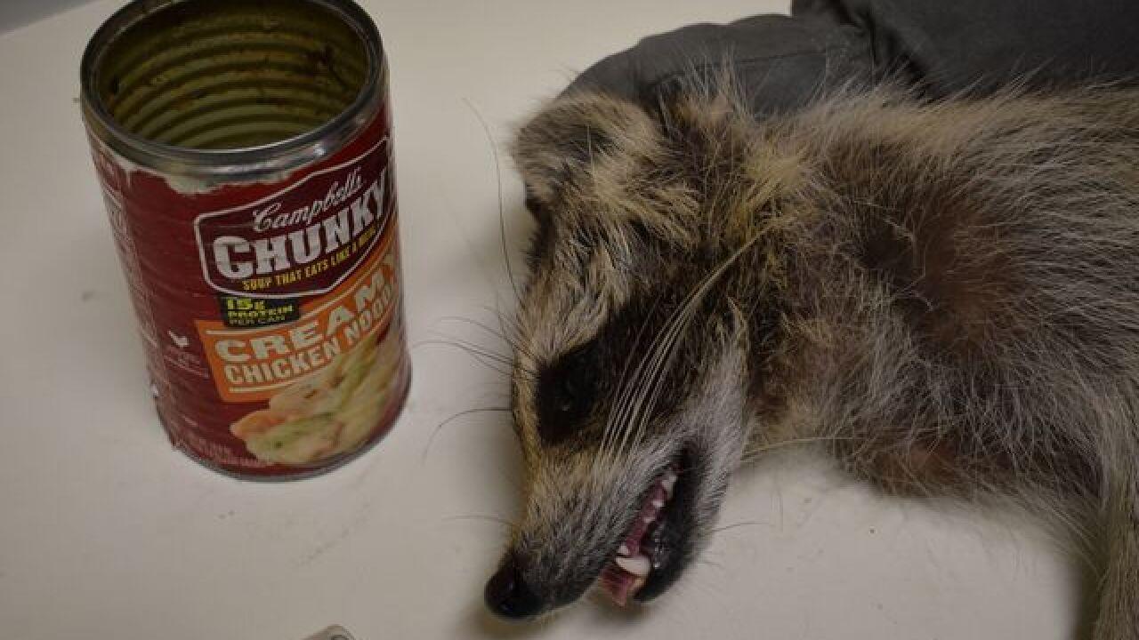 Raccoon with can stuck on head