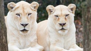 Cincinnati Zoo white lions
