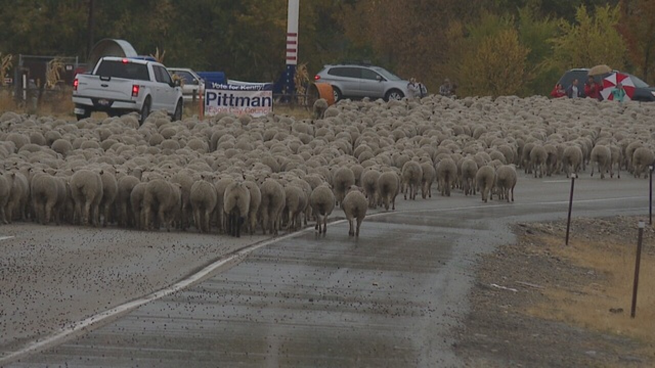 Sheep make their return to Treasure Valley