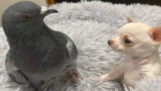 Pigeon And Chihuahua Puppy Are Best Friends And Their Photos Are Ridiculously Cute